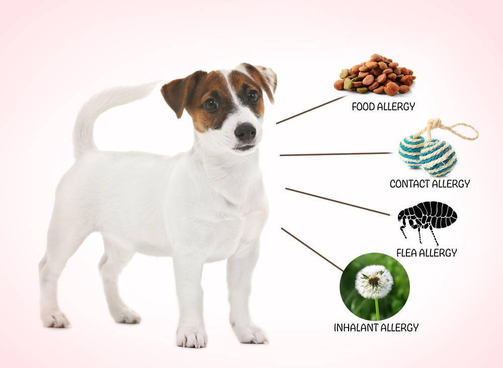 Tener un perro con alergia alimentaria es un grave problema
