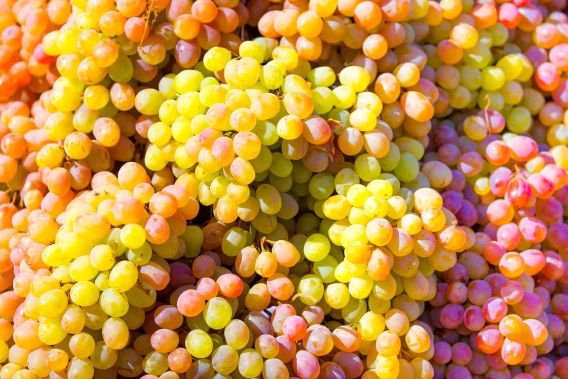 Los tipos de uva